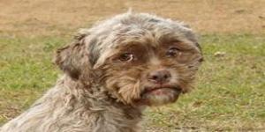 Pas koji ima ljudsko lice