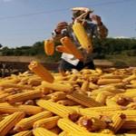 Na teritoriji Pčinjskog kraja berba kukuruza se privodi kraju