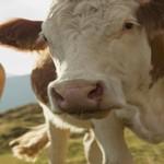 U Pčinjskom okrugu ne jenjava stočna bolest plavi jezik